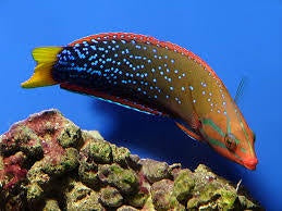 African Clown Wrasse A