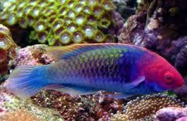Blue Head Fairy Wrasse