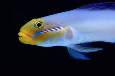 Golden Head Sleeper Goby