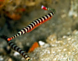 Many Banded Pipefish