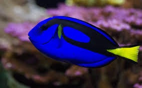 Blue Tang Tiny 3 To 4 Cm