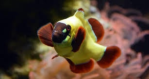 A Gold Nugget Clown Fish