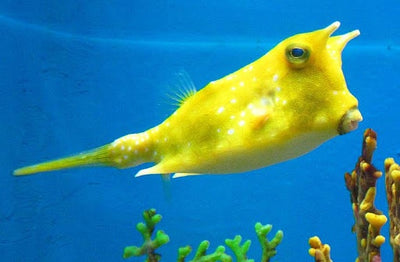 Long Horn Cowfish