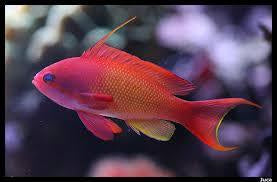 Red Anthias