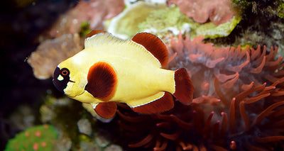 A Gold Nugget clown Fish Pair