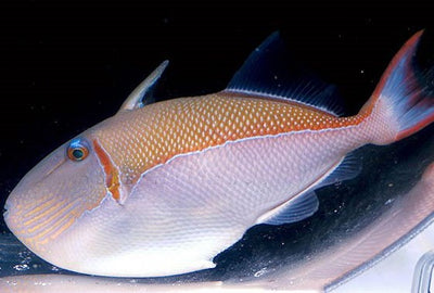Goldenback Triggerfish Show Size