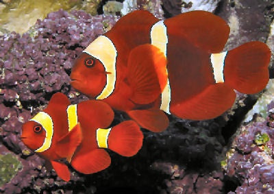 Tank Raised Gold Stripe Marron Clownfish