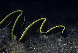 Black Ribbon Eel
