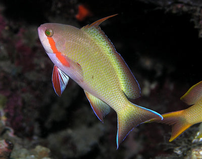Green Anthias
