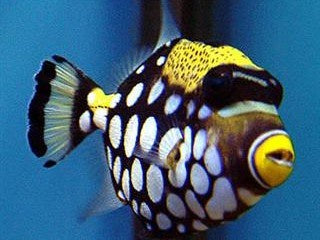 Clown Trigger fish medium