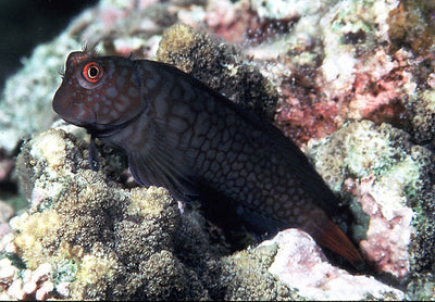 Chestnut Blenny