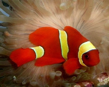 Yellow Strip Maroon Clownfish Pair