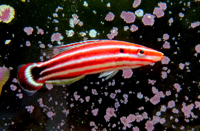 Candy Stripe Hogfish