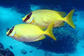 Yellow Spinefoot