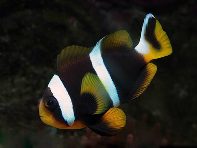 Black African Clownfish