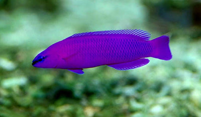 Orchid Dottyback Tank Bred