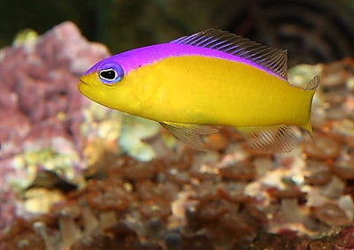 Double Striped Dottyback Purple