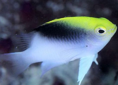 Rolland's Damselfish