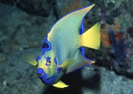 Blue Angelfish Caribbean