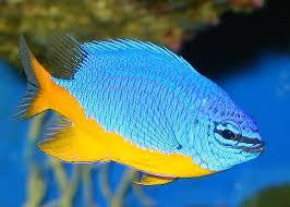 Royal / Azure Damselfish