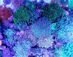 Hammer Coral Large 3 For $110