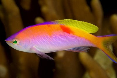 Bartletts Anthias
