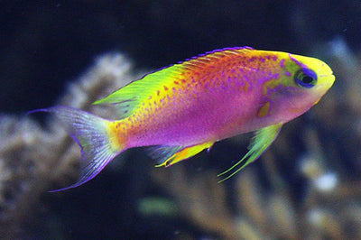 Ventralis Anthias