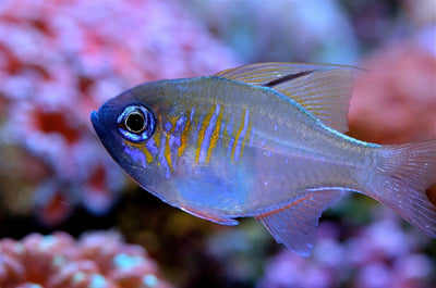 Blue Eyes Cardinal Fish
