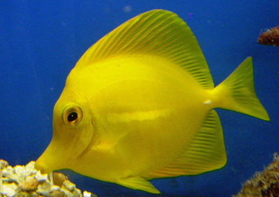 Yellow Tangs Small 6 cm to 7 cm