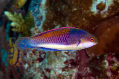 BLUE SIDED FAIRY WRASSE