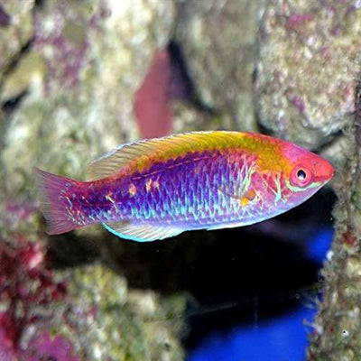Lubbocks Fairy Wrasse