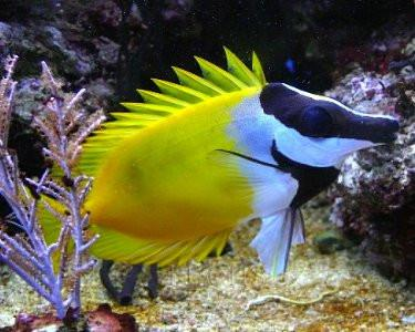Fox Face Rabbitfish