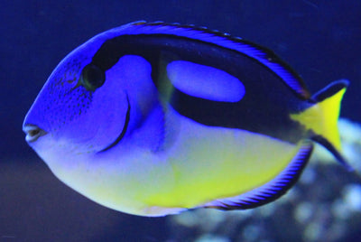 Blue Tang Yellow Belly Med Kenya