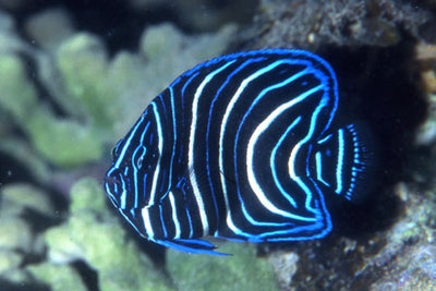 Semi Angelfish Juv