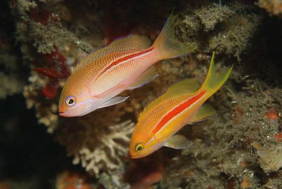 Red Stripe Anthias