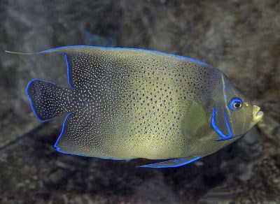Semicircle Angelfish Show Size