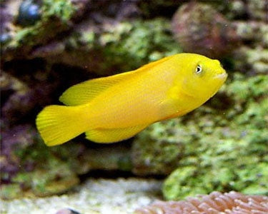 Golden Dottyback