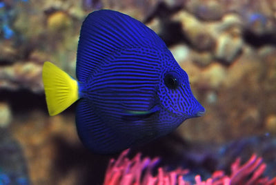 Purple Tang Tiny