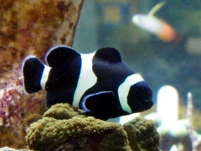black and white ocellaris clownfish tank raised