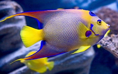 Queen Angelfish Adult