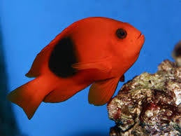 Fire Clownfish
