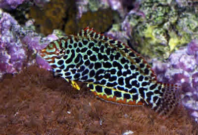 Leopard Wrasse Red