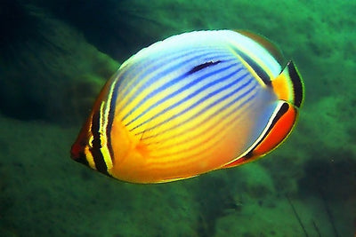 Melon Butterfly Fish