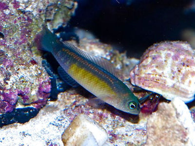 Blue Line Dottyback