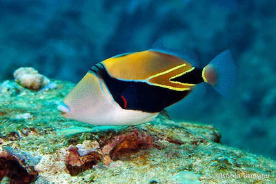 Wedge Tail Triggerfish