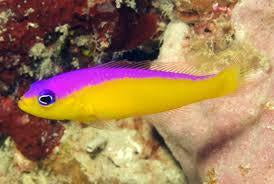 Purple Stripe Dottyback Diadema