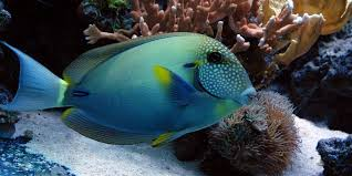 White Fleckled Surgeonfish Tang