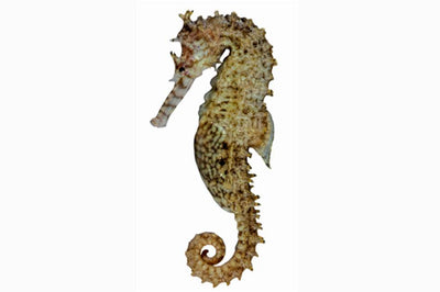 Western Spiny Seahorse Narrow Bellied Seahorse