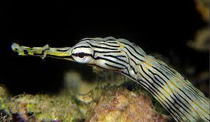 Dragon Face Pipefish