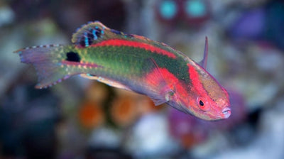 Exquisite Fairy Wrasse Male Kenya